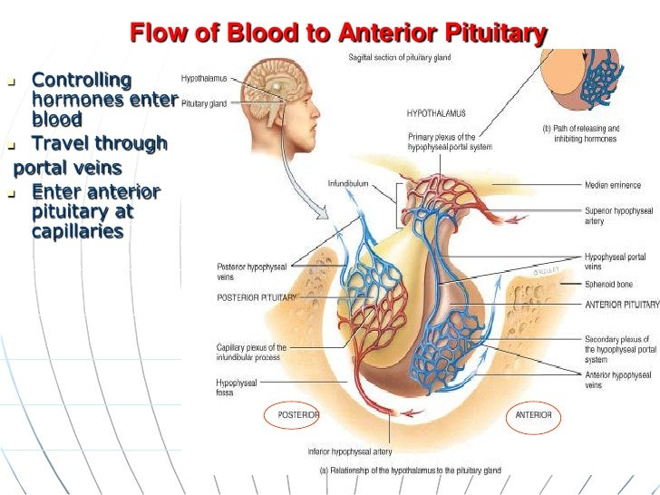 Pituitary System Diagram Wiring Diagrams