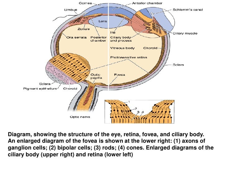 Histology of eye diagram ccuart Images