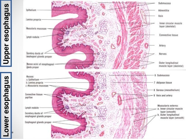 Of Gastrointestinal Tract