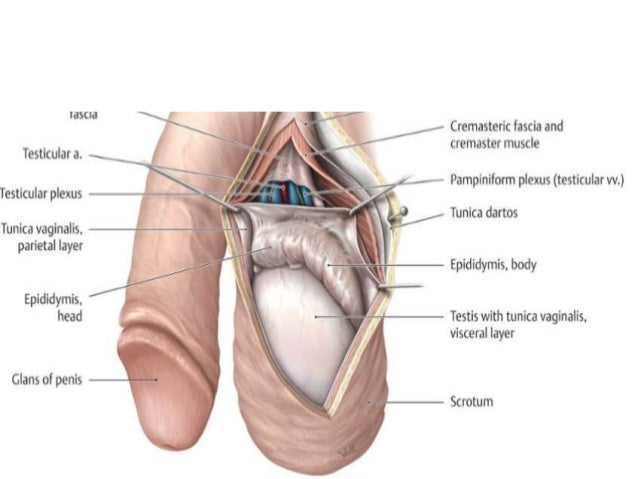 testicular anatomy - Kubre.euforic.co