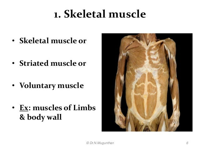 histology of muscle pdf lecture notes by dr.n.mugunthan, Muscles