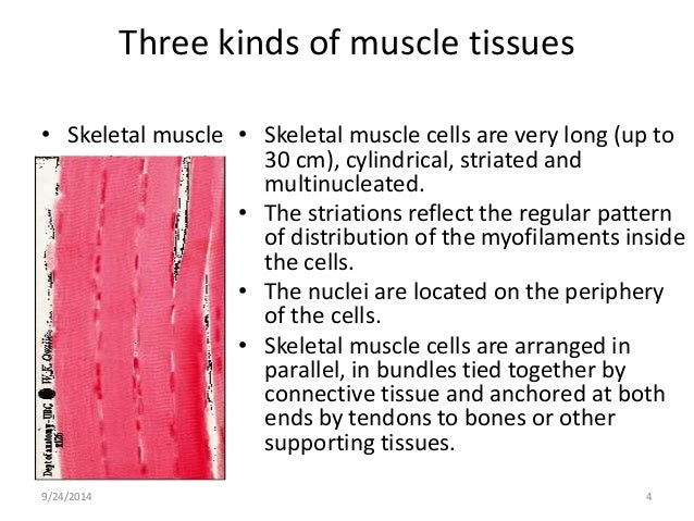 compare and contrast cardiac and skeletal muscle Skeletal muscle innervation: the axon delivers the action potential to the neuromuscular junction, which carries the excitation to the skeletal muscle cell cardiac muscle innervation: the.