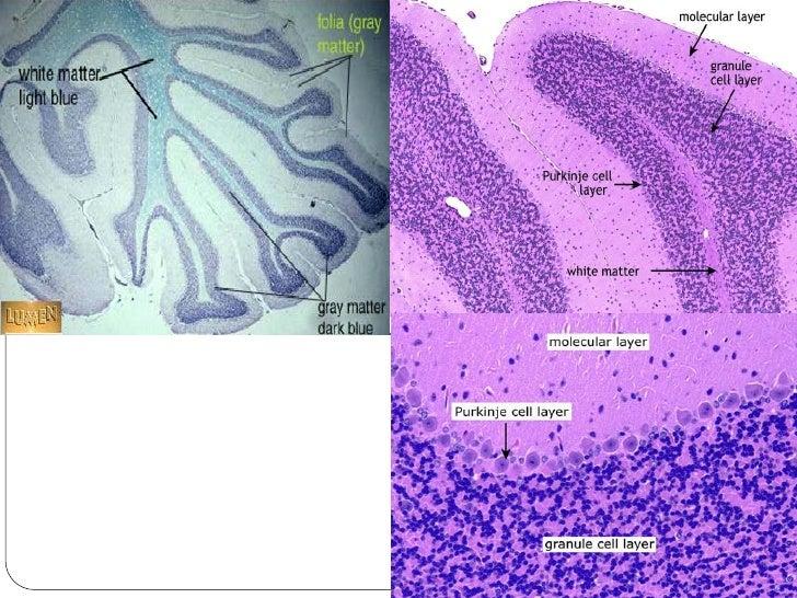 Human cerebellum histology
