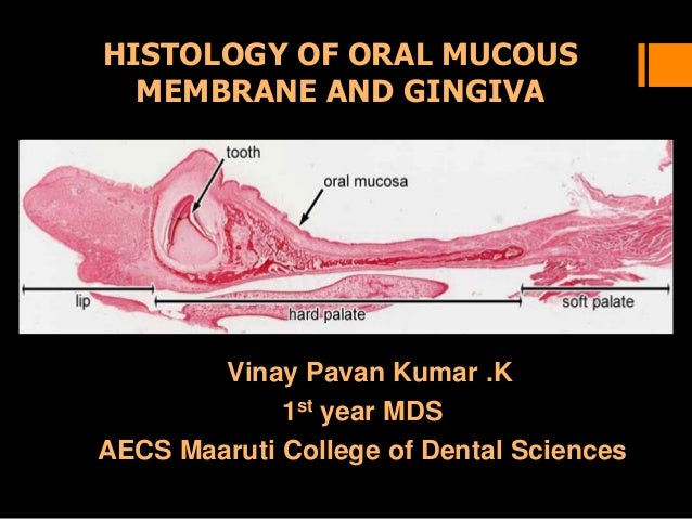 HISTOLOGY OF ORAL MUCOUS MEMBRANE AND GINGIVA Vinay Pavan Kumar .K 1st year MDS AECS Maaruti College of Dental Sciences