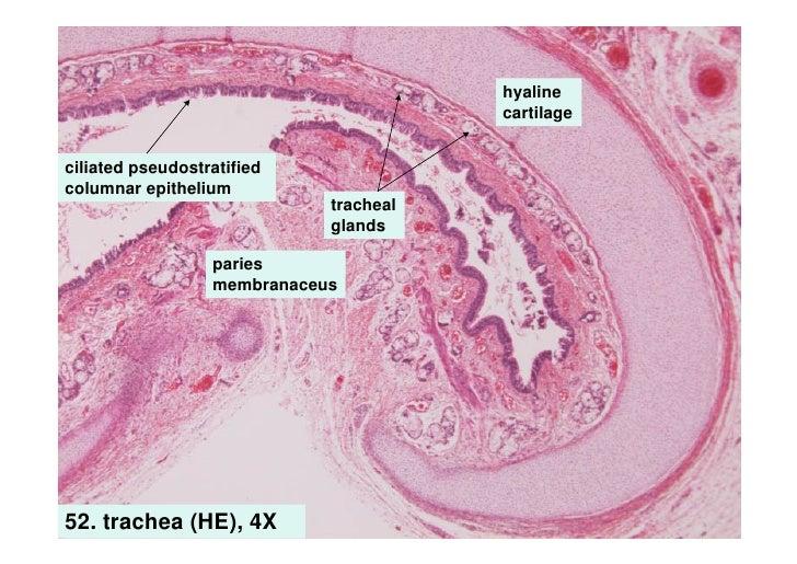 Image Gallery larynx histology