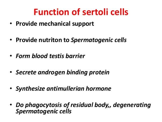 histology of testes & epididymis, Cephalic Vein