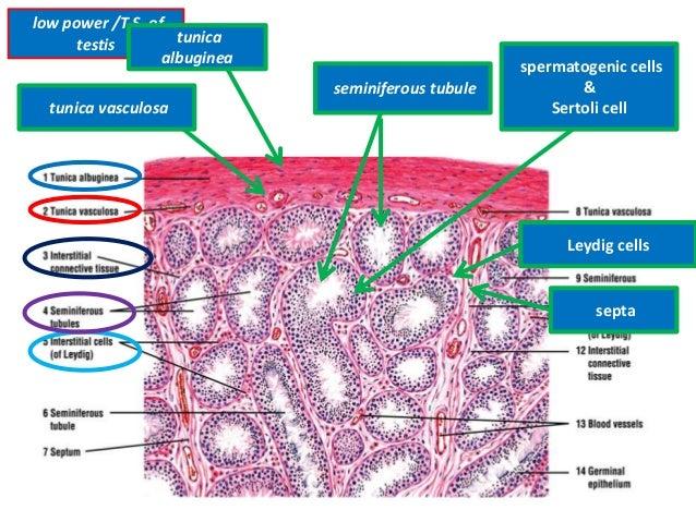 Histology Of Testes Epididymis