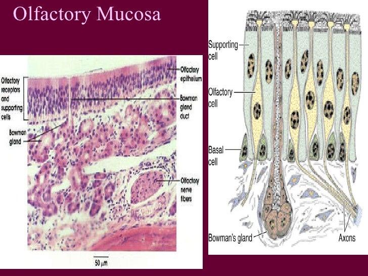 Histo Respiratory1