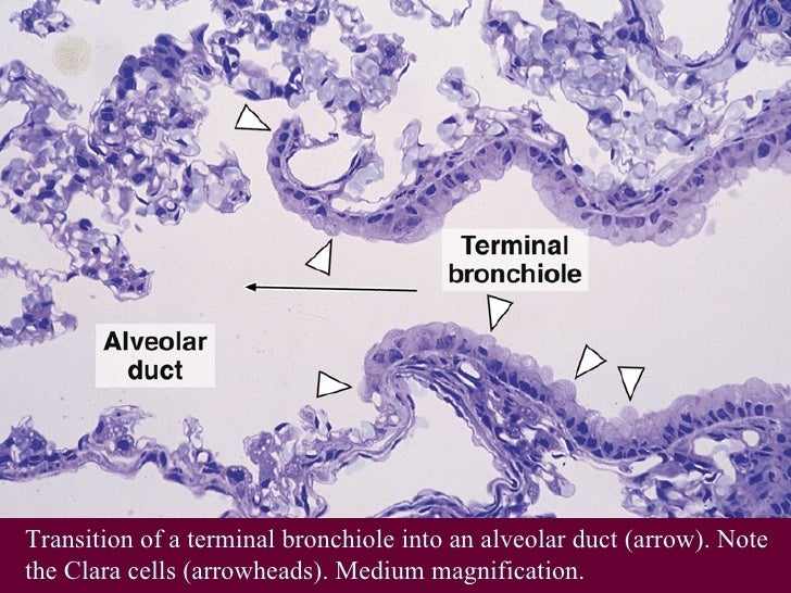 Histo Respiratory2