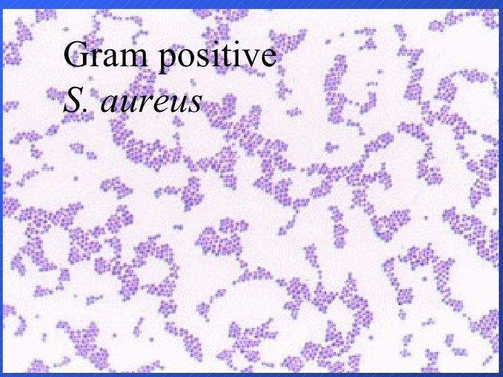 Gram positive S. aureus