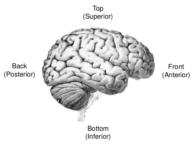 A (Short) History of the Human Brain