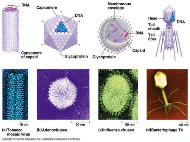 Viral pathogenesis is the process by which viruses produce disease in the host. Viral pathogenesis can be divided into sev...