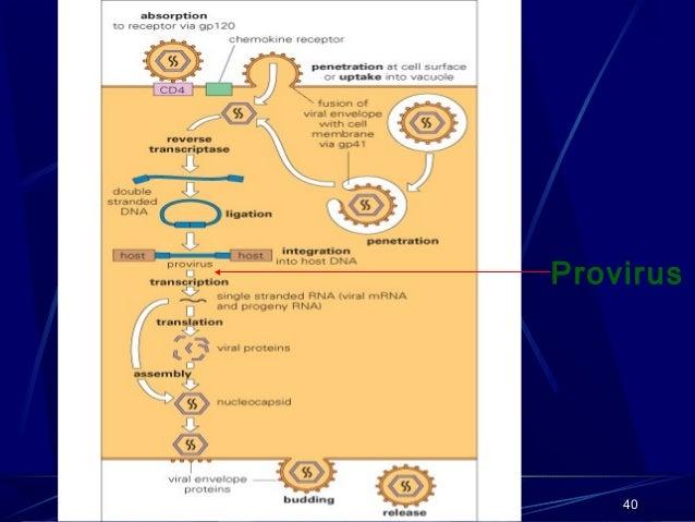 Provirus  40