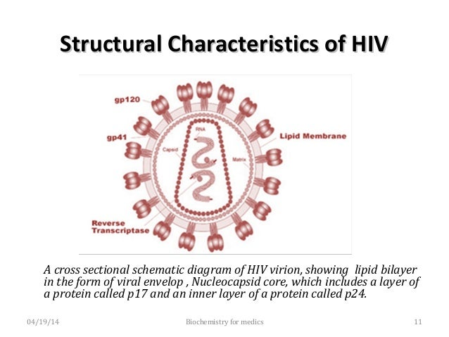Structural Characteristics of HIVStructural Characteristics of HIV • Interior to the envelope is an outer icosahedral nucl...