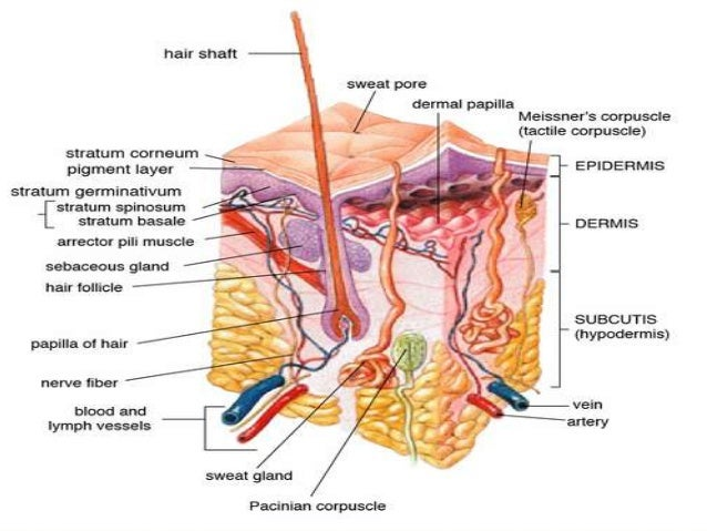 PATHOPHYSIOLOGY OF THE SKIN AND SUBCUTANEOUS TISSUES RADIATION DAMAGE: Ultraviolet radiation (UVR) and ionising radiation ...