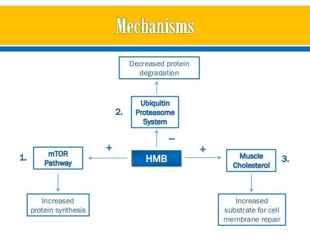Hmb muscle growth study