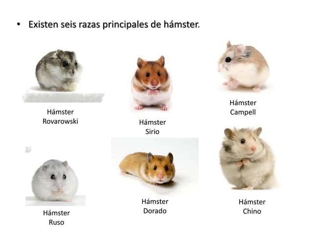 • Existen seis razas principales de hámster. Hámster Ruso Hámster Rovarowski Hámster Sirio Hámster Campell Hámster Chino H...