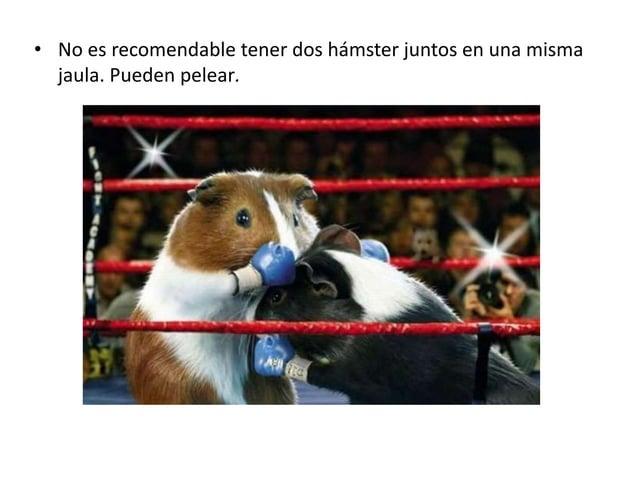 • No es recomendable tener dos hámster juntos en una misma jaula. Pueden pelear.