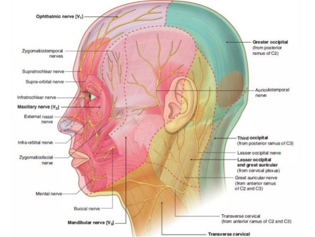 Head and Neck Anatomy 7