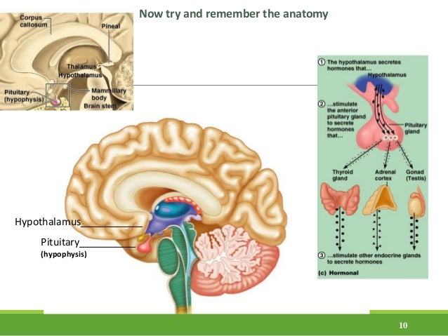 10 Pituitary__________ (hypophysis) Hypothalamus___________ Now try and remember the anatomy