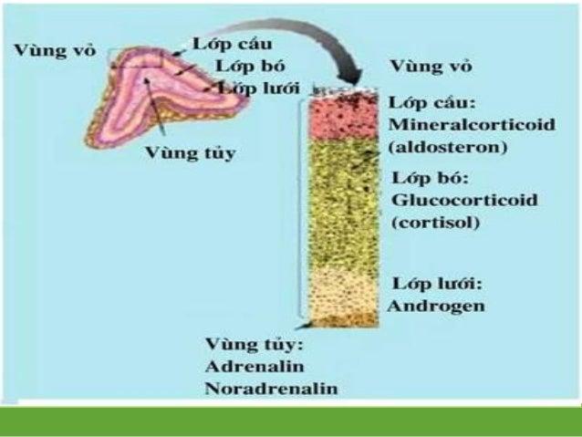 Tác dụng Aldosteron: Tăng tái hấp thu Na Tăng bài xuất K Cortisol: Tăng đồng hóa glucose Tăng sức chống đỡ cơ thể Andr...
