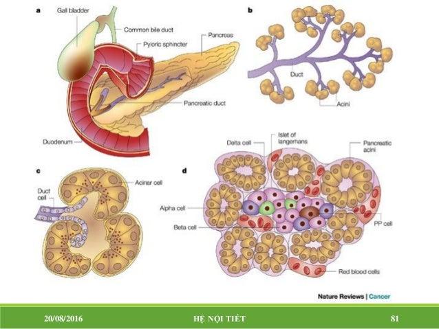 TUYẾN TỤY NỘI TIẾT Tụy có từ 1 – 2 triệu đảo langerhans, chứa 3 loại tế bào Tế bào alpha: tiết glucagon. Tế bào beta: ti...