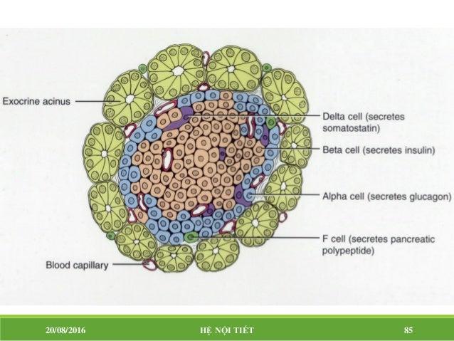 Tác dụng của insulin Chuyển hóa lipid:  Làm tăng dự trữ lipid trong mô mỡ  Do đó làm giảm sử dụng lipid. 20/08/2016 HỆ ...