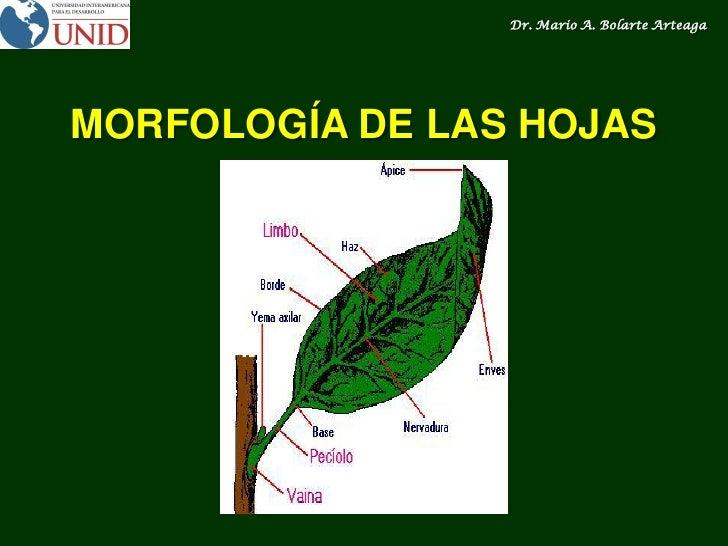 La Hoja Morfología Y Anatomía