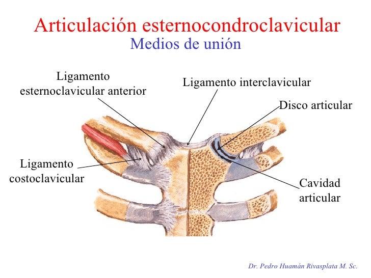 Articulación esternocondroclavicular Medios de unión Dr. Pedro Huamán Rivasplata M. Sc. Ligamento costoclavicular Ligament...