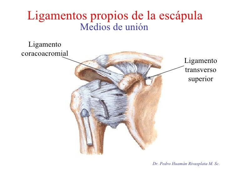 Ligamentos propios de la escápula Medios de unión Dr. Pedro Huamán Rivasplata M. Sc. Ligamento coracoacromial Ligamento tr...