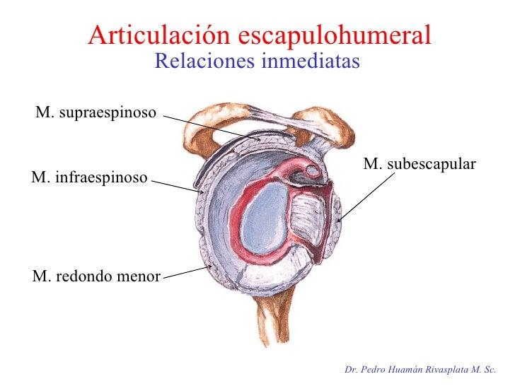 Articulación escapulohumeral Relaciones inmediatas Dr. Pedro Huamán Rivasplata M. Sc. M. supraespinoso  M. subescapular M....