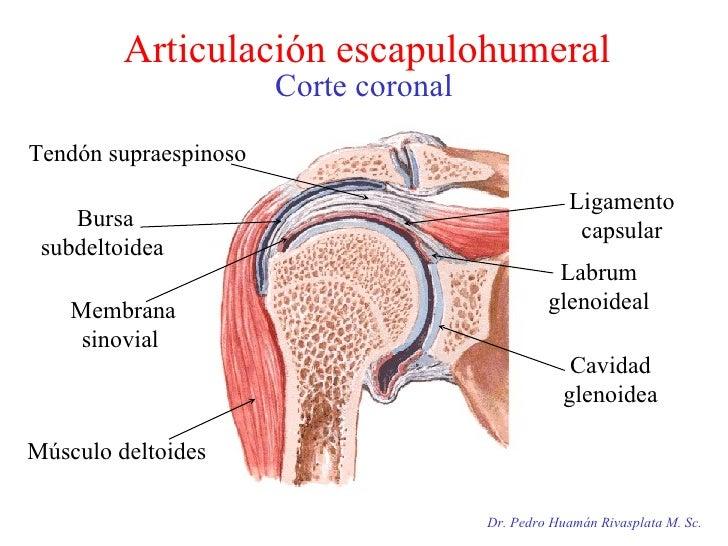 Dr. Pedro Huamán Rivasplata M. Sc. Articulación escapulohumeral Corte coronal Cavidad glenoidea Labrum glenoideal Ligament...