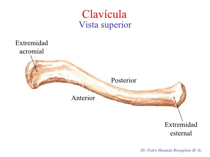 Clavícula  Vista superior Dr. Pedro Huamán Rivasplata M. Sc. Extremidad acromial Extremidad esternal Posterior  Anterior