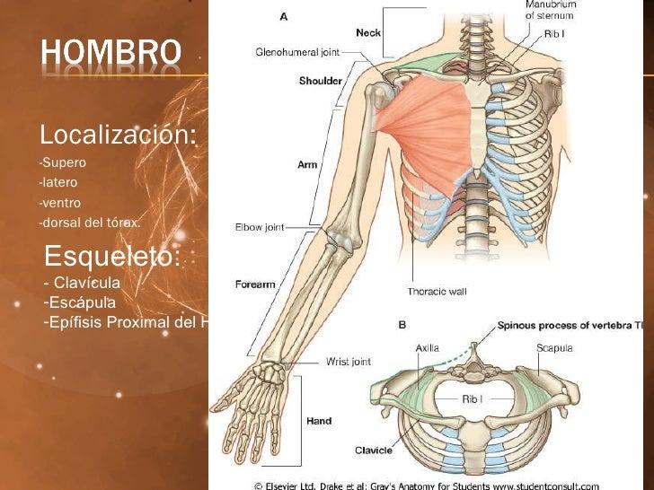 Bonito Anatomía Básica Hombro Imágenes - Anatomía de Las Imágenesdel ...