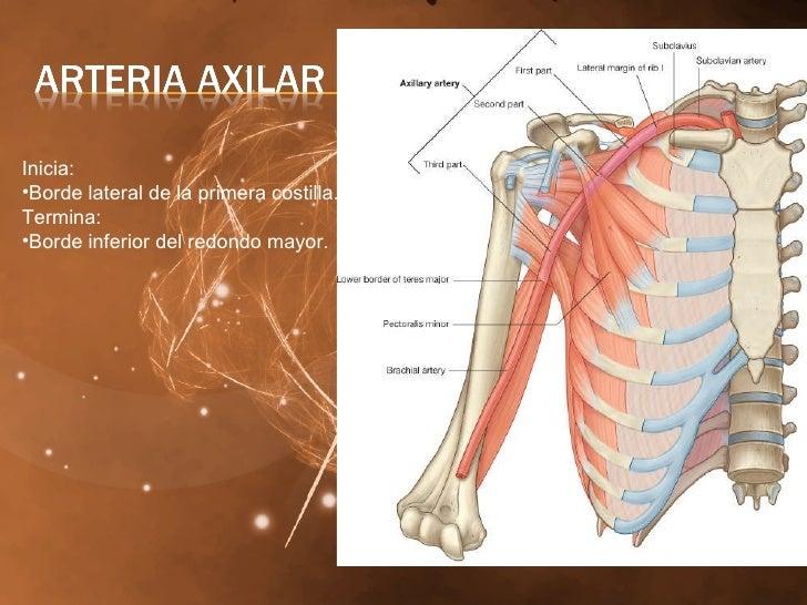 Hombro y Axila Grupo Atlas Anatomia (BASICO)