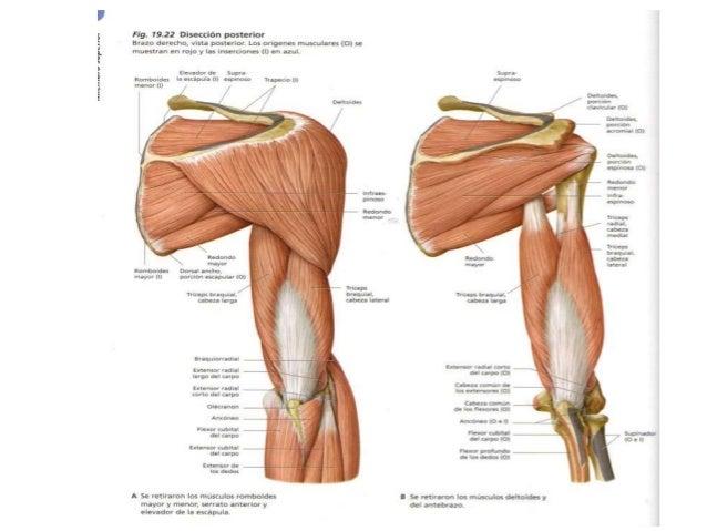Hombro y posterior del brazo