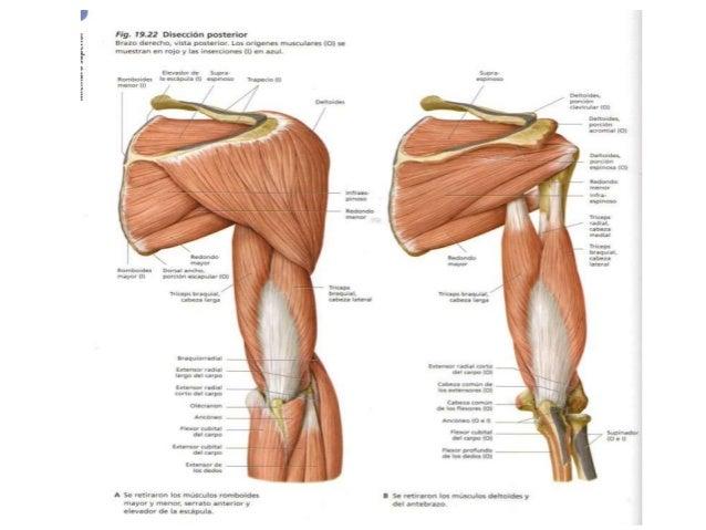 El anchísimo músculo del hombro - Truco Para Desarrollar Hombros ...