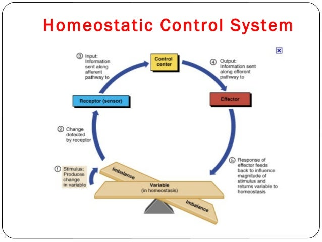 homeostasis and cardiovascular system essay example All the systems work together to maintain stability or homeostasis disrupt one   for example, your body has an internal thermostat during a.