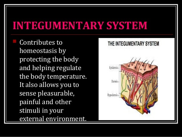 INTEGUMENTARY SYSTEM  Contributes to homeostasis by protecting the body and helping regulate the body temperature. It als...