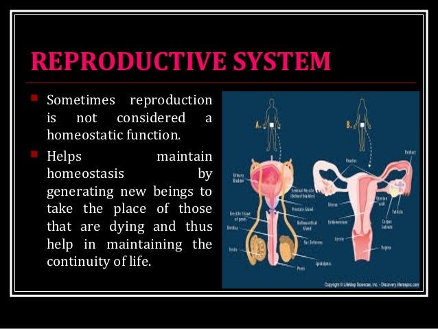 REPRODUCTIVE SYSTEM  Sometimes reproduction is not considered a homeostatic function.  Helps maintain homeostasis by gen...