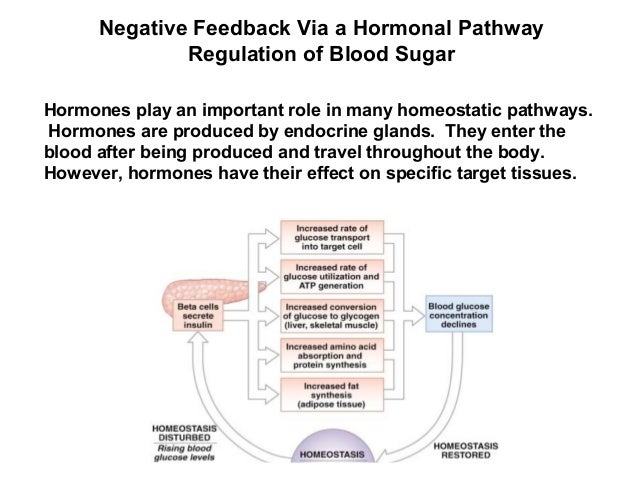 importance of negative feedback Thermoregulation is an important negative feedback response in maintaining homeostasis for example, if the body's temperature rises above 99 °f (372 °c), the thermoregulatory control center of the brain called the hypothalamus, is activated.