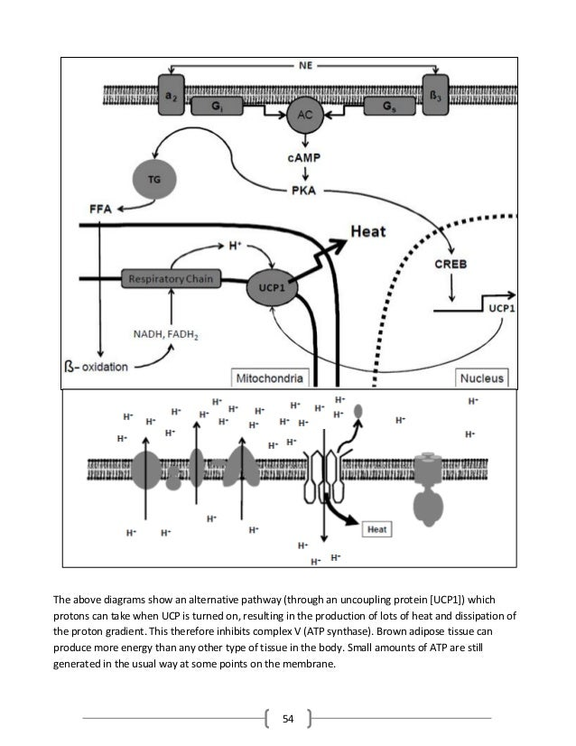54 The above diagrams show an alternative pathway (through an uncoupling protein [UCP1]) which protons can take when UCP i...