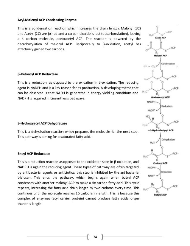 74 Acyl-Malonyl ACP Condensing Enzyme This is a condensation reaction which increases the chain length. Malonyl (3C) and A...