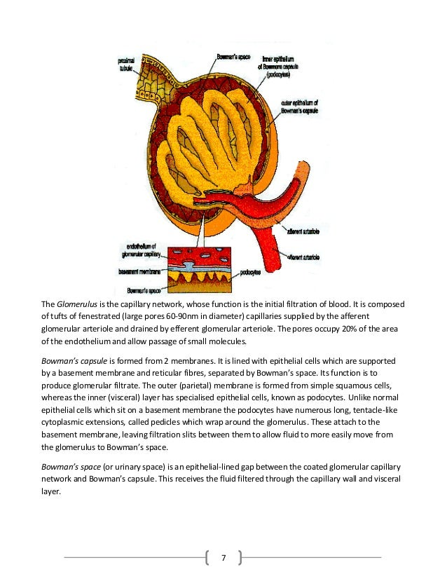 7 The Glomerulus is the capillary network, whose function is the initial filtration of blood. It is composed of tufts of f...