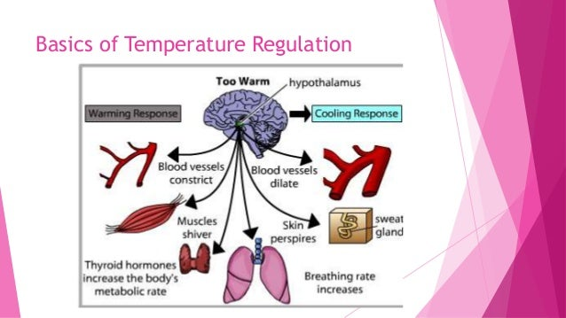 how does homeostasis regulate breathing rate