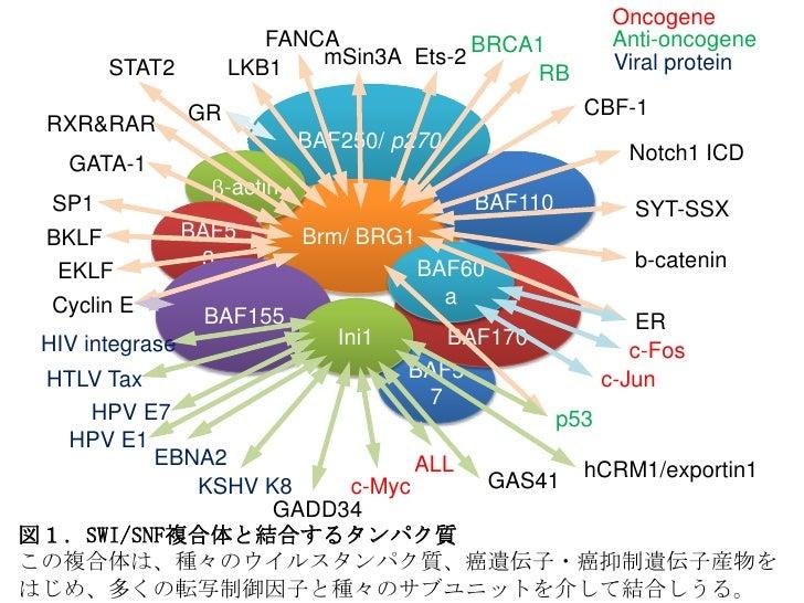 Oncogene                          FANCA            BRCA1           Anti-oncogene                              mSin3A Ets-2...