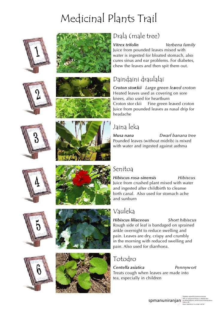 Medicinal Plants Trail           Drala (male tree)           Vitrex trifolin              Verbena family           Juice f...