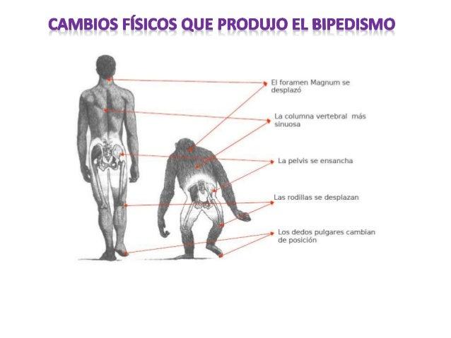 •El fémur se orienta hacia el interior, evitando el giro del cuerpo al andar (los antropomorfos lo orientan en todas direc...