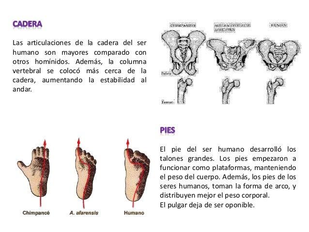 Curvatura de la columna y posición del formamen magnum en el hombre y el gorila