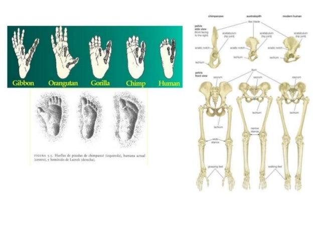 CAPACIDAD CRANEAL El aumento de la capacidad craneal se puede apreciar en las diferentes especies de fósiles de los ancest...